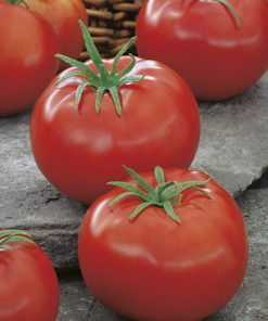 produzione semi pomodoro ace 55 vf