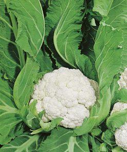 produzione semi cavolfiore agri