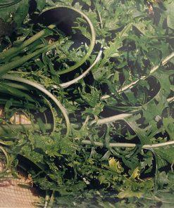 produzione semi cicoria agrio white