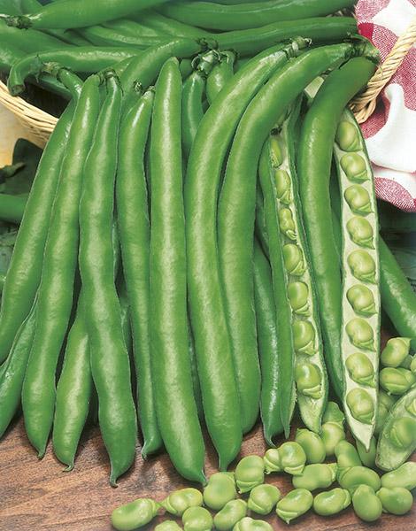 produzione semi fava aguadulce supersimonia sel. fortore