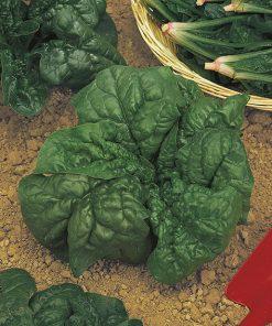 produzione semi spinacio america