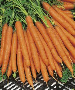 produzione semi carota amsterdam 2