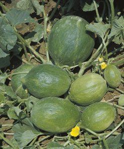 produzione semi carosello del sud italia barattiere