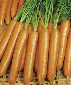produzione semi carota berlicum 2