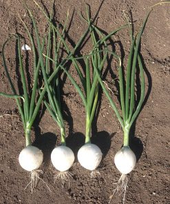 produzione semi cipolla a tunica bianca berlinda