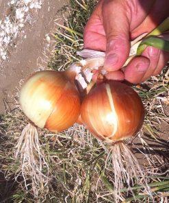 produzione semi cipolla a tunica gialla bonty