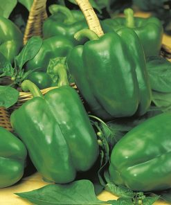 produzione semi peperone california wonder