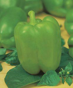 produzione semi peperone daunia