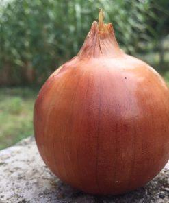 produzione semi cipolla a tunica gialla densimore