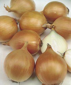 produzione semi cipolla a tunica gialla density 4