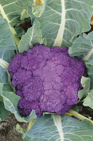 produzione semi cavolfiore di sicilia violetto
