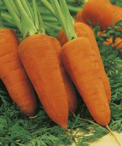 produzione semi carota ds2740