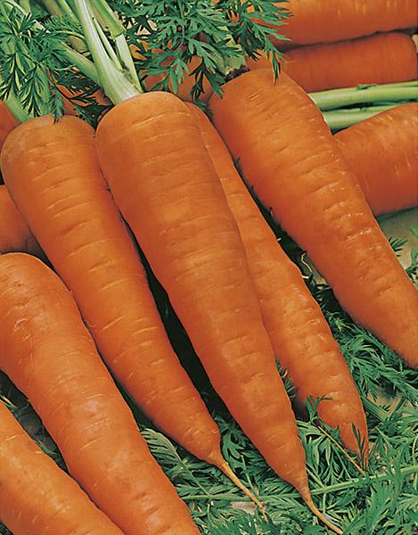 produzione semi carota ds2770