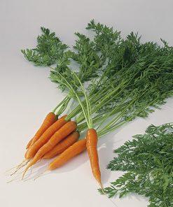 produzione semi carota ds2820