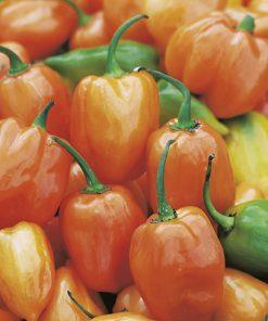 produzione semi peperone habanero