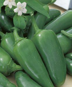 produzione semi peperone jalapeno