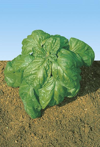 produzione semi basilico lettuce leaves