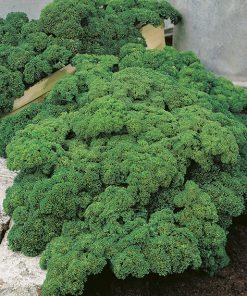 produzione semi prezzemolo moss curled 2