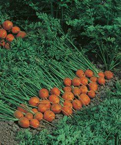 produzione semi carota paris market