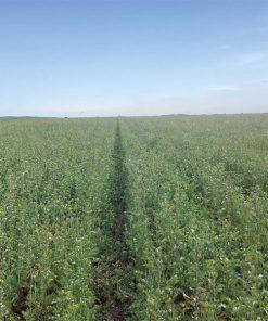 produzione semi biofumigazione e sovescio radish rs 236