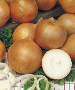 produzione semi cipolla a tunica gialla rijnsburger 5