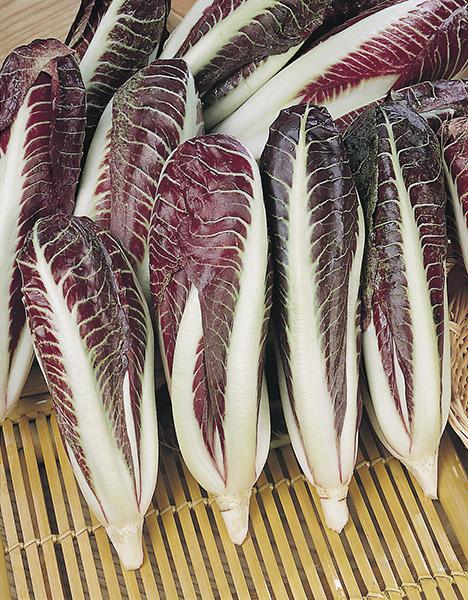 produzione semi cicoria rossa di treviso early