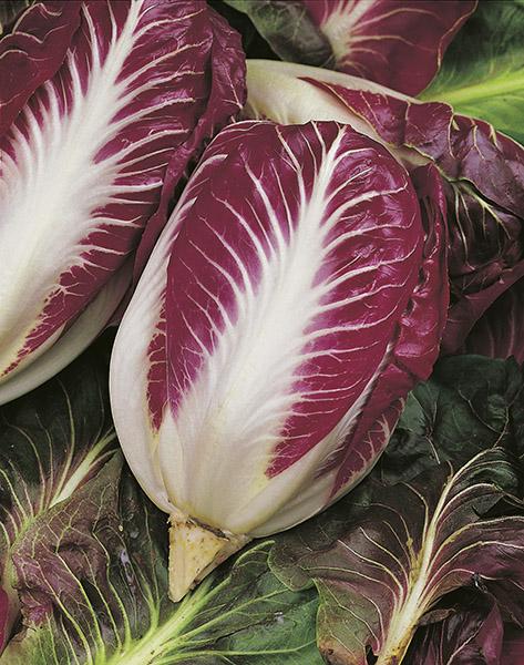 produzione semi cicoria rossa di verona late