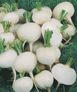 produzione semi ramolaccio round white