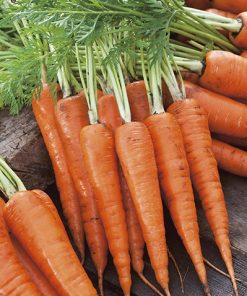 produzione semi carota royal chantenay 2