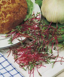 produzione semi semi da germoglio pink beetroot