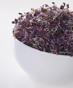 produzione semi semi da germoglio red cabbage