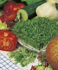 produzione semi da germoglio Chicory