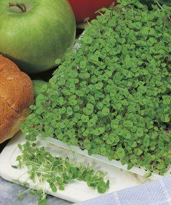 produzione semi semi da germoglio basil