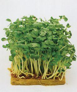 produzione semi semi da germoglio black mustard