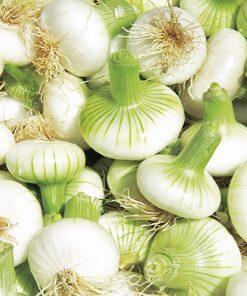 produzione semi cipolla a tunica bianca aprilatica