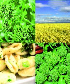 produzione semi broccoletto di rapa aprilatico