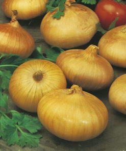 produzione semi cipolla a tunica gialla vertus