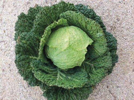 produzione semi cavolo verza vertus 2