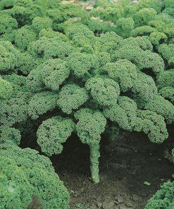 produzione semi cavolo da foglia vitessa