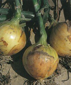produzione semi cipolla a tunica gialla babosa