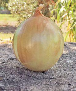 produzione semi cipolla a tunica gialla beys