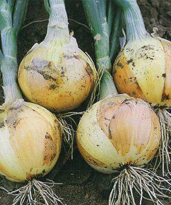 produzione semi cipolla a tunica gialla ds 7750