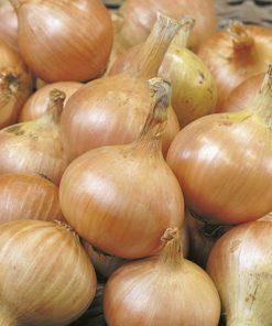 produzione semi cipolla a tunica gialla granex prr
