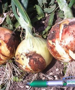 produzione semi cipolla a tunica gialla ponteba