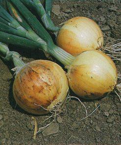 produzione semi cipolla a tunica gialla texas early grano 502