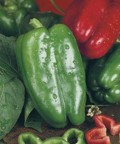 produzione semi peperone yolo wonder